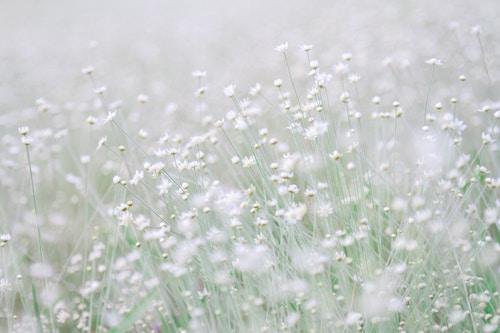 Field of dainty white flowers